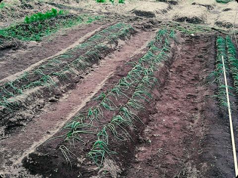 玉ねぎ植えつけ