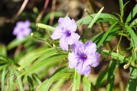 紫花アップ P1070074