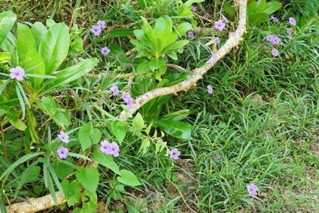紫花遠景 P1070075