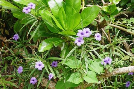 紫花中景 P1070266