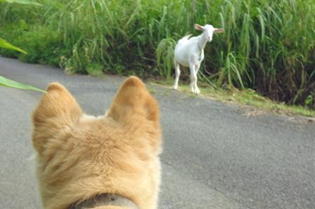 散歩・山羊 P1010082