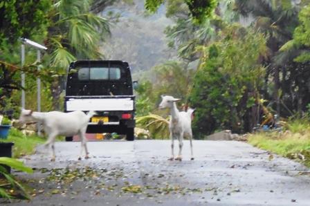 散歩・山羊放牧 P1010129