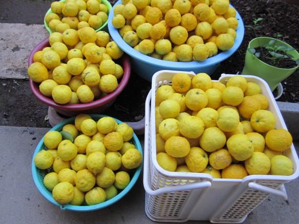 27.12.5柚子の刈取 057_ks