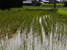 田んぼの古代米