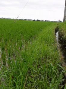 畦草伸びた・・・