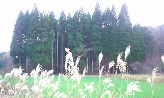 もやの中の杉林