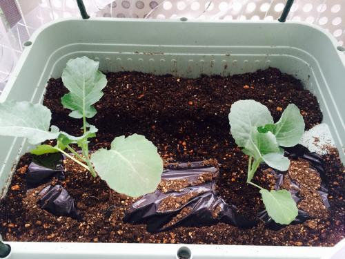 タアサイ、ブロッコリー、茎ブロッコリー (20151012)