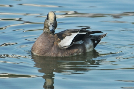 amwigeon-frotalface