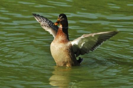 intersex-mallard-wingflap