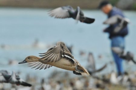 pintail-anomjm-fly