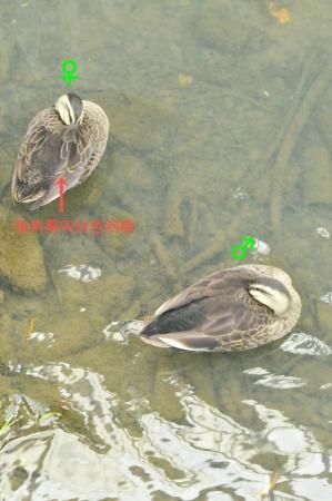 spotbill-pair2