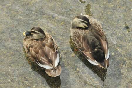 spotbill-pair