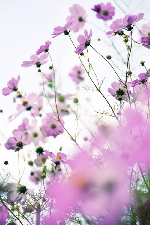 大原の秋桜