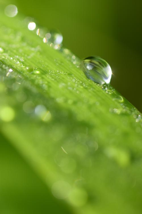 ヤブカンゾウの雨滴
