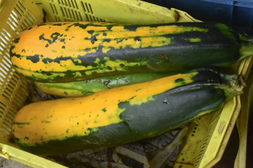 zucchini_15_9_6.jpg