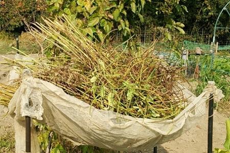 えびす草 乾燥