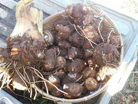 里芋 一番手前の株収穫