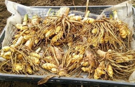ウコン収穫 2015