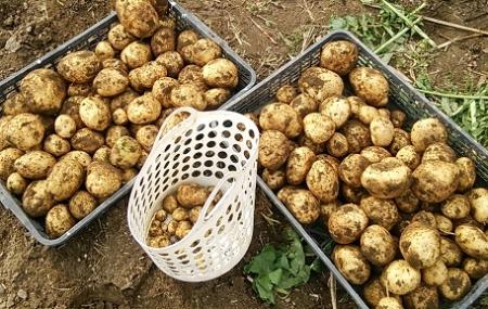 秋ジャガイモ収穫1