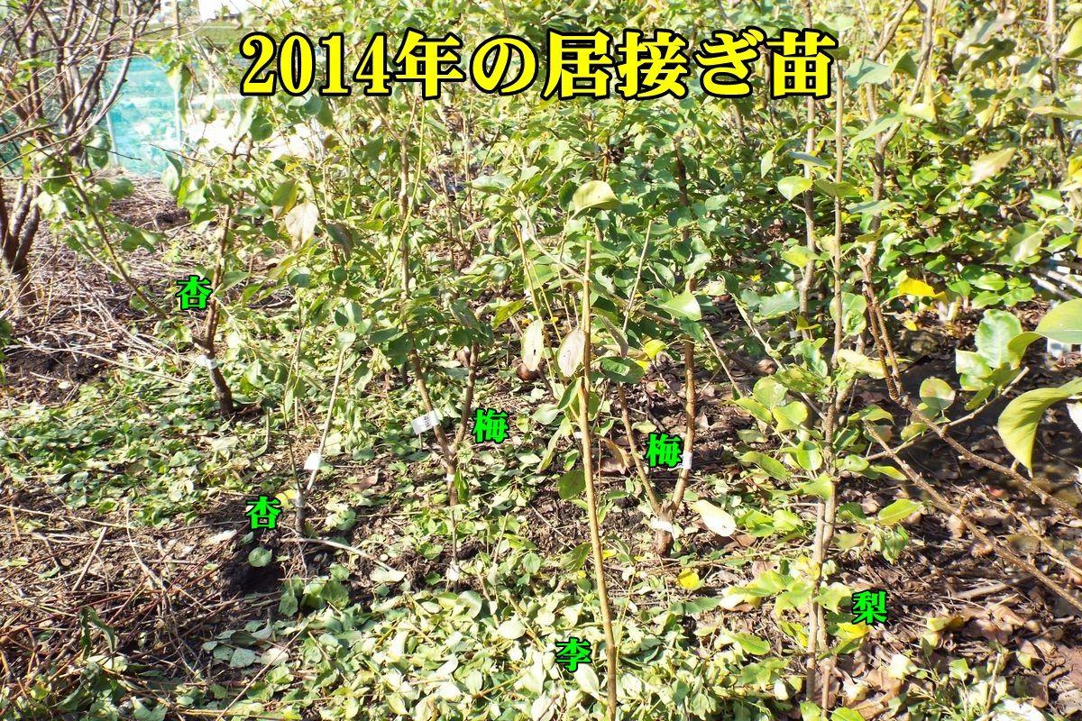 1su_an_ume151117_017.jpg