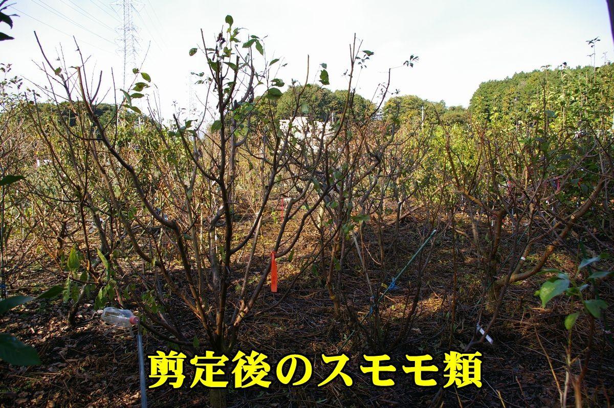 1sumomo151113_006.jpg
