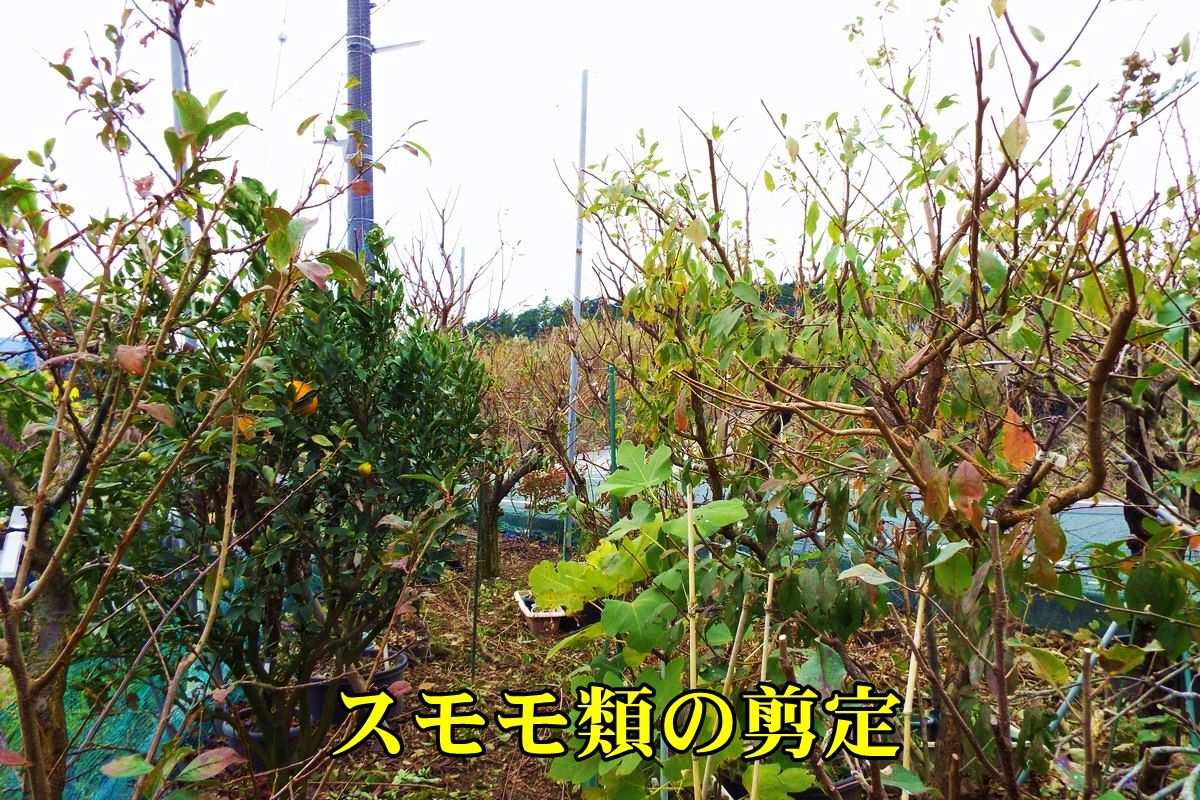 1sumomo151206_011.jpg