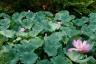 毛越寺、境内の蓮池