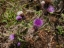 花(鍋割山稜)