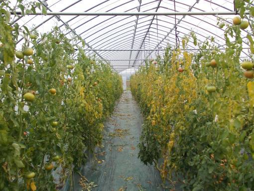 20151001_トマトの収穫