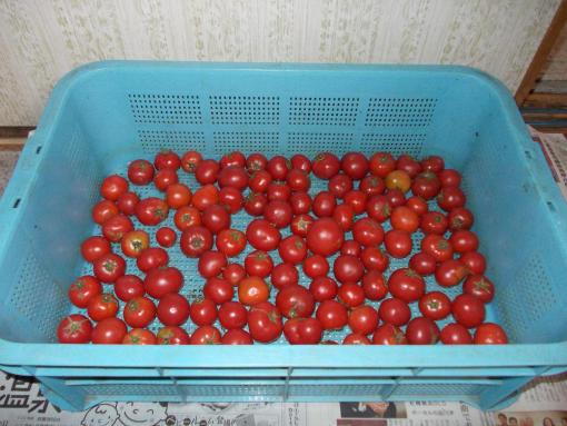 20151021_小玉フルーツトマト