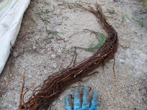 20151029_スギナの地下茎
