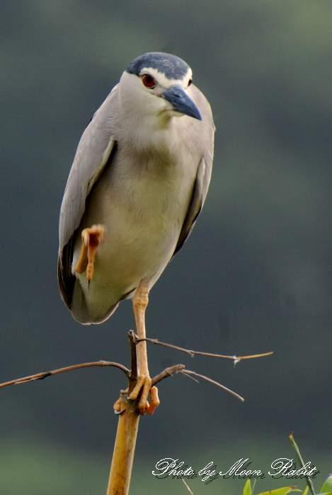 鷺のコロニー ゴイサギ(五位鷺)