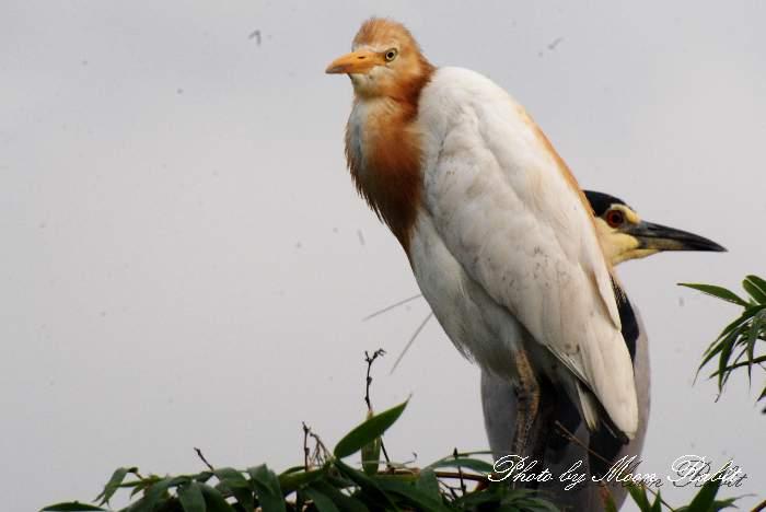 甘鷺(アマサギ) 中山川大橋 鷺のコロニー