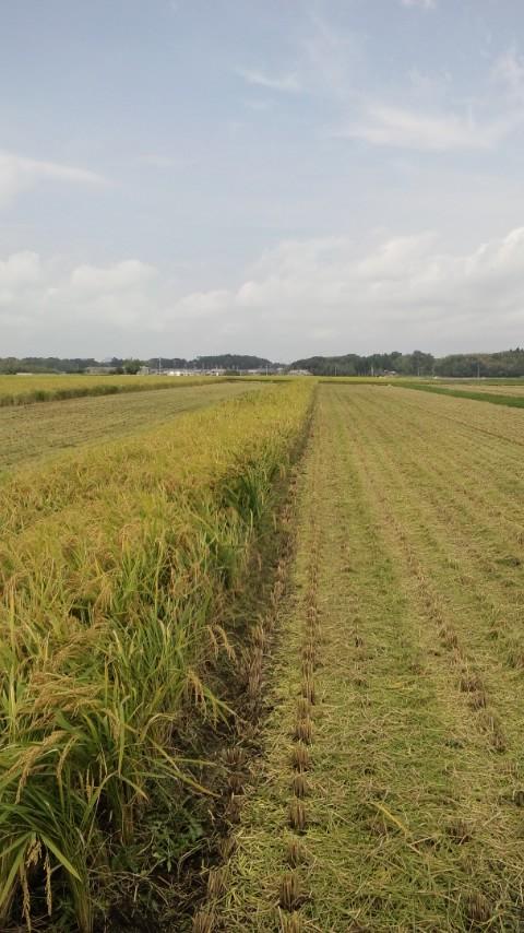 稲刈り2015