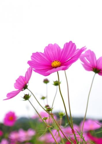 4浅海コスモス15.10.10