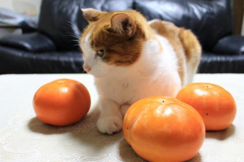 ブログNo.426(柿と猫と水滴&お知らせ)2