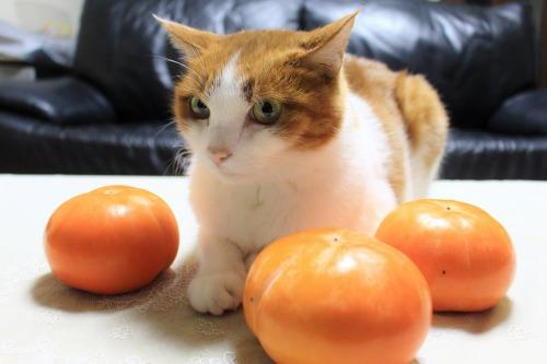 ブログNo.426(柿と猫と水滴&お知らせ)3