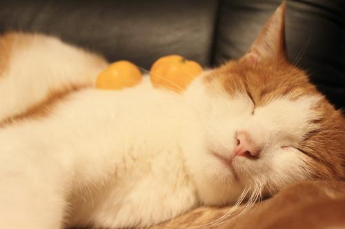 ブログNo.431(福来(ふくれ)みかんと猫)11
