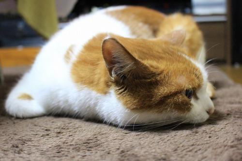 ブログNo.437(ホットカーペットと潰れ猫)8