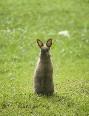 動物-ウサギ