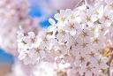植物-桜2