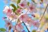 植物-桜1