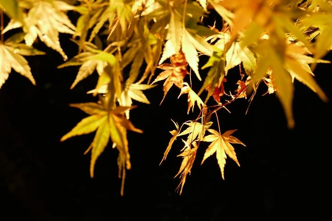 由志園(島根県)の日本庭園秋の紅葉をライトアップ