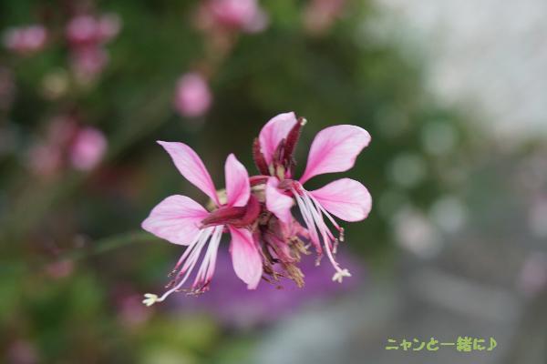 pinkugaura923.jpg