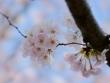 Dhp328~330桜