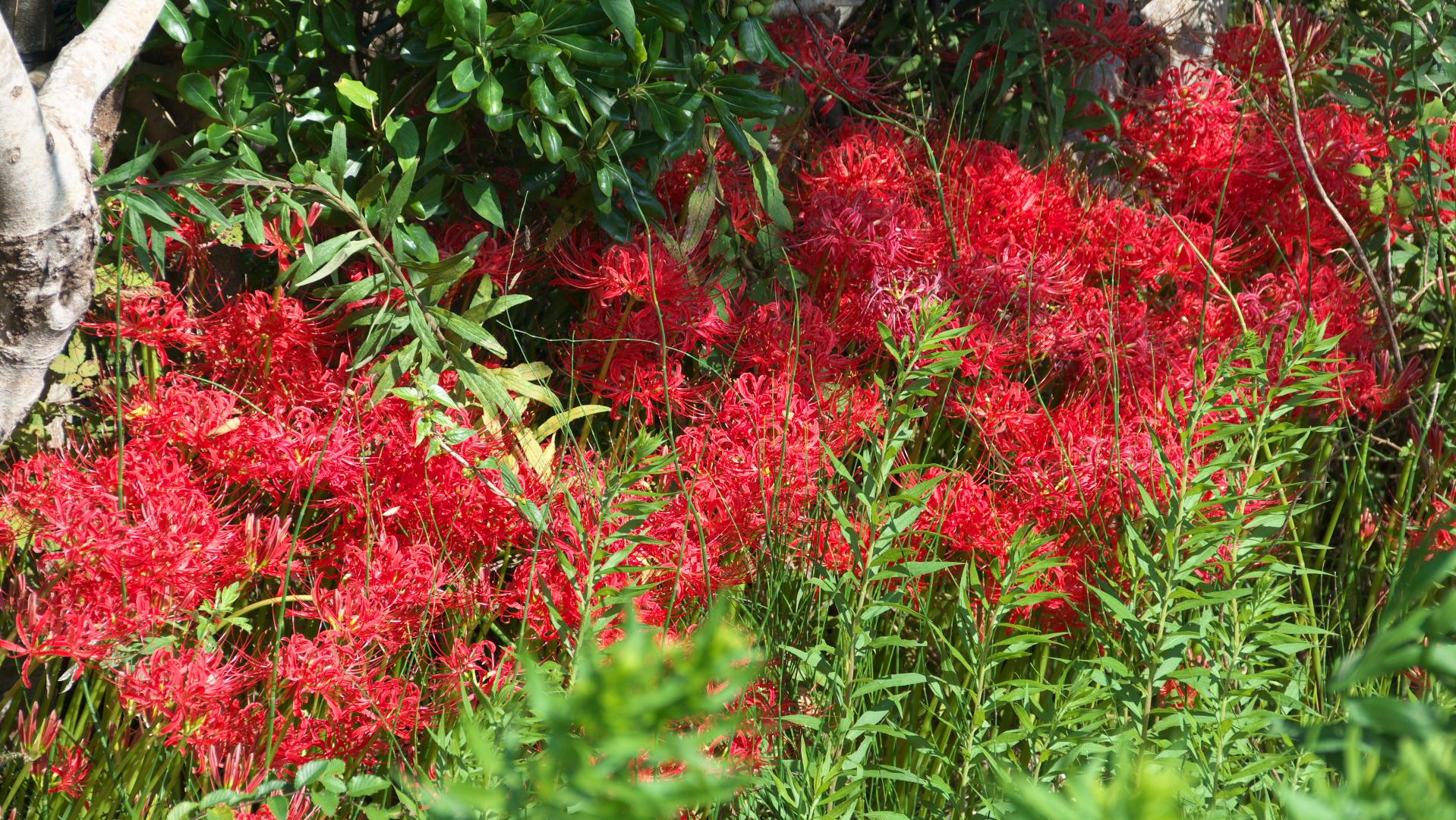 MGマリーン近くに咲き誇る彼岸花