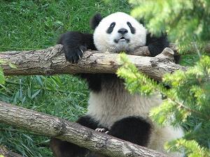 The-Brit_2-Hanging-Panda.jpg