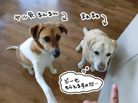 羊の国のラブラドール絵日記シニア!!「ドッグトレーニング開始」2