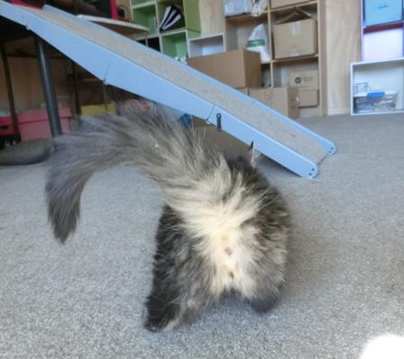 羊の国の猫日記「初めての長毛種」写真1