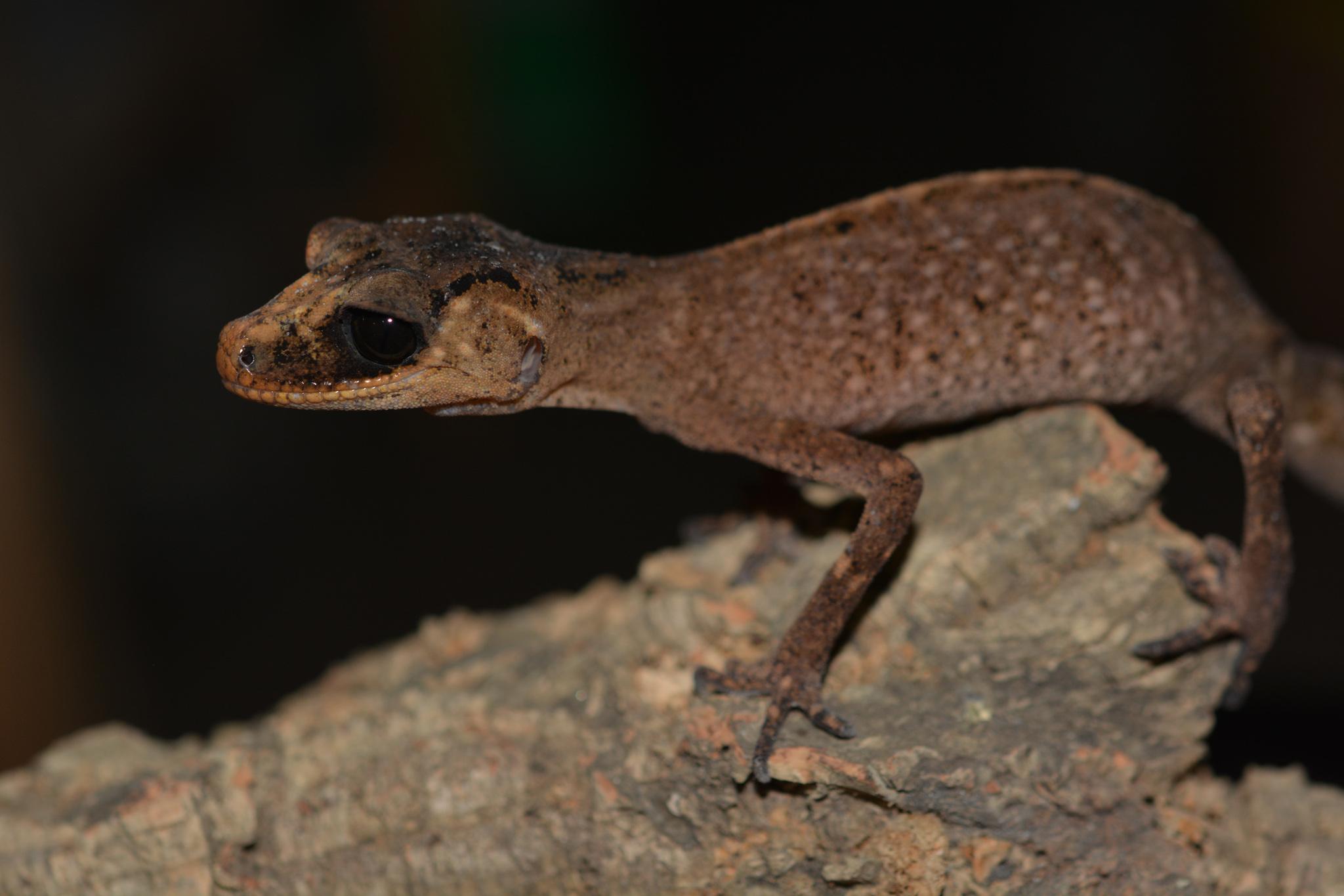 carphodactylus_laevis_female03.jpg